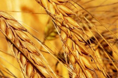 Türkiye AB'den 230 bin ton buğday ithal edecek