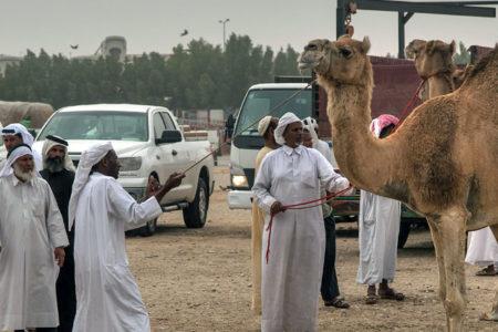 Körfez krizi develeri vurdu: Suudi Arabistan, 15 bin deveyi sınır dışı etti