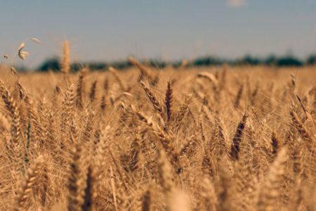 Gümrük vergilerinin indirilmesi üreticiyi vurdu: Buğday alım satımı durdu