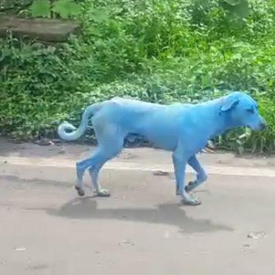 Endüstriyel kirlilikten dolayı köpeklerin rengi mavileşmeye başladı